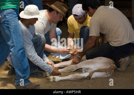 Calf being ear-tagged, Costa Rica, Central America - Stock Photo