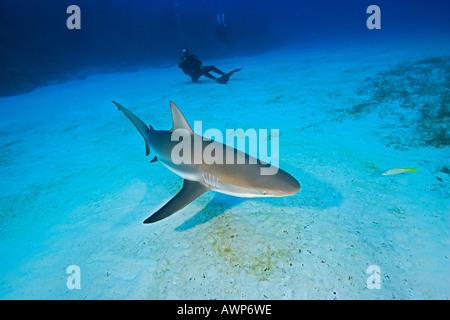 Caribbean Reef Shark, Carcharhinus perezi, and scuba divers, West End, Grand Bahama, Bahamas, Atlantic Ocean - Stock Photo