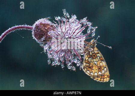 Small Pearl-bordered Fritillary butterfly (Boloria selene) perched on the withered blossom of a Water Avens (Geum - Stock Photo