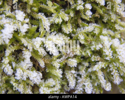 moss in winter time snow ice icy frost frozzen crystal  - Stock Photo