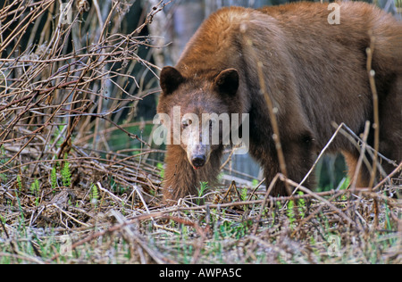 A cinnamon colored Black Bear - Stock Photo