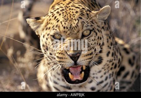 Leopard (Panthera pardus), Namibia - Stock Photo