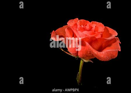 Single rose - Stock Photo