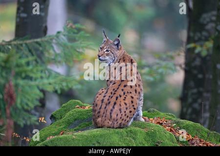 Eurasian Lynx (Lynx lynx), Nationalpark Bayrischer Wald (Bavarian Forest National Park), Bavaria, Germany, Europe - Stock Photo