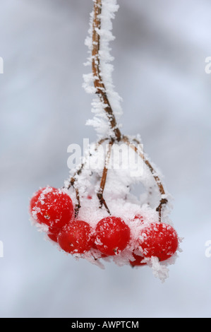 Frost-covered European Rowan (Sorbus aucuparia) fruit - Stock Photo