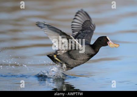 Eurasian Coot (Fulica atra) taking off with prey, Flachsee (Flach Lake), Switzerland, Europe - Stock Photo