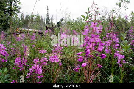 Fireweed or Rosebay Willowherb (Epilobium angustifolium) in bloom, Yukon Territory, Canada - Stock Photo