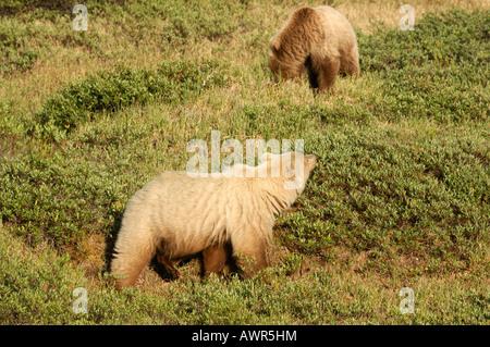 Brown Bear sow (Ursus arctos) feeding with young, Denali National Park, Alaska, USA - Stock Photo