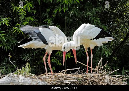 White Storks (Ciconia ciconia) nesting, Zurich Zoo, Zurich, Switzerland, Europe - Stock Photo