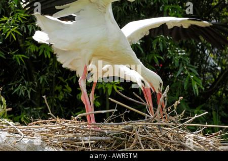 White Stork (Ciconia ciconia) nesting, Zurich Zoo, Zurich, Switzerland, Europe - Stock Photo