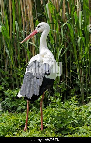 White Stork (Ciconia ciconia), Zurich Zoo, Zurich, Switzerland, Europe - Stock Photo