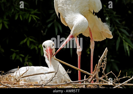 Affectionate white stork pair (Ciconia ciconia), Zurich Zoo, Zurich, Switzerland, Europe - Stock Photo