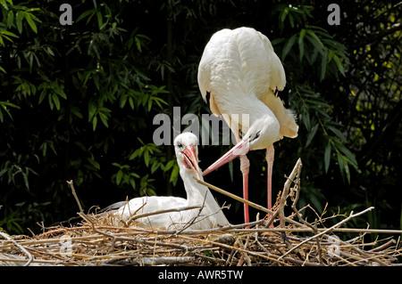 Affectionate white storks (Ciconia ciconia), Zurich Zoo, Zurich, Switzerland, Europe - Stock Photo