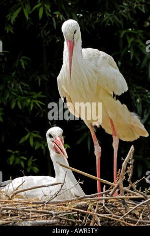 White storks (Ciconia ciconia), Zurich Zoo, Zurich, Switzerland, Europe - Stock Photo