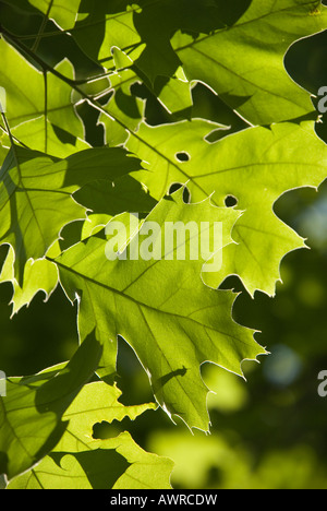 Northern Red Oak leaves - Stock Photo