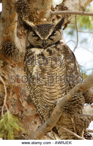 Great Horned Owl Bubo virginianus sleeping - Stock Photo