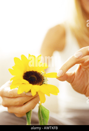 Woman plucking petals from flower, close up. - Stock Photo