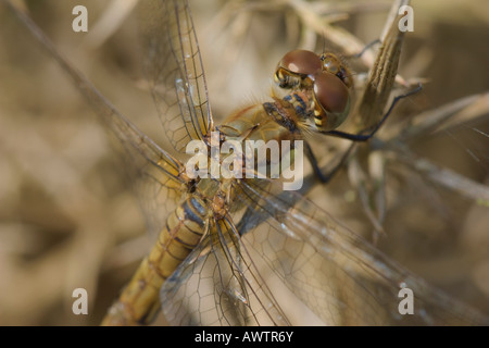 Female Common Darter dragonfly (Sympetrum striolatum) warming up in the sun whilst perching on dead gorse. - Stock Photo