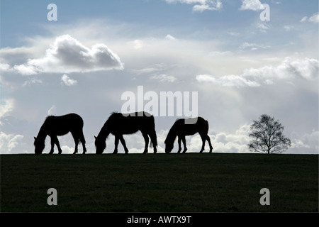 New Forest ponies grazing in Brockenhurst, New Forest, Hampshire - Stock Photo