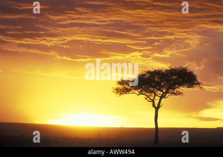 An isolated balanites tree is silhouetted against the dramatic golden dawn sky in the Masai Mara National Reserve - Stock Photo