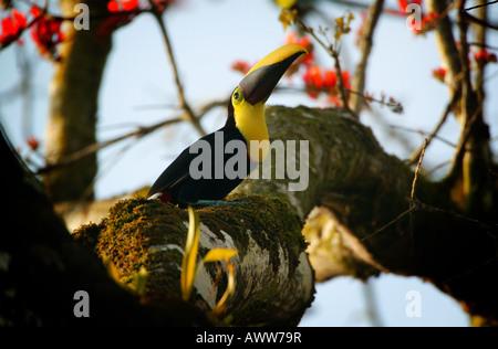 Chestnut-mandibled toucan near Cana field station in Darien national park, Republic of Panama - Stock Photo