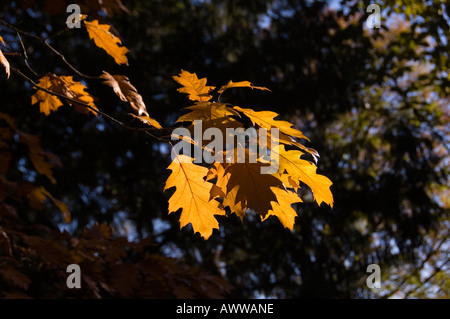 Back Lit Autumnal Leaves - Stock Photo