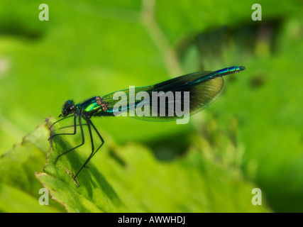 Calopteryx splendens - Banded Demoiselle - male - Stock Photo