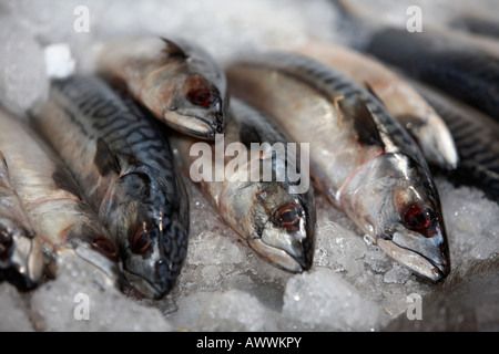 row of mackerel on a bed of ice on a fishmongers fresh fish stall at an indoor market - Stock Photo