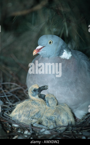 wood pigeon (Columba palumbus), with two chicks in the nest, Germany, North Rhine-Westphalia - Stock Photo