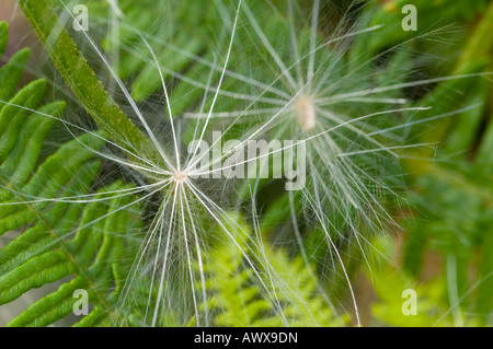 Two seed heads, or thistledown, of a Spear Thistle, Cirsium vulgare - Stock Photo