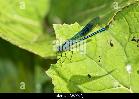 Calopteryx splendens - Banded Demoiselle - male - Stock Photo