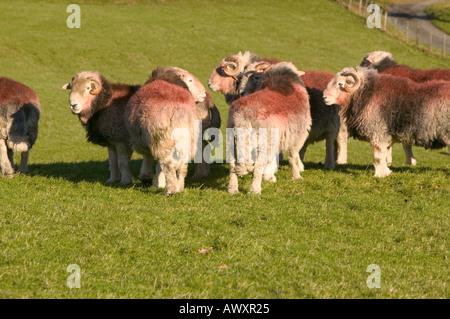 Herdwick Rams in Little Langdale,Lake district, Cumbria, UK - Stock Photo