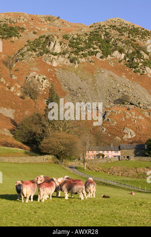 Herdwick Rams in Little Langdale, in front of a traditional lakeland farmhouse,  Lake district, Cumbria, UK - Stock Photo