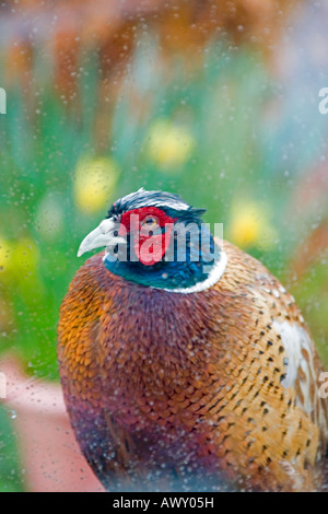 A portrait format view of a cheeky pheasant Phasianus colchicus peers through a conservatory window - Stock Photo
