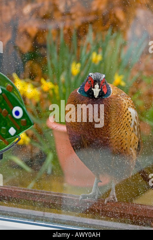 A cheeky pheasant Phasianus colchicus peers through a conservatory window - Stock Photo
