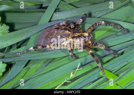 Spider, Zoropsis spinimana - Stock Photo