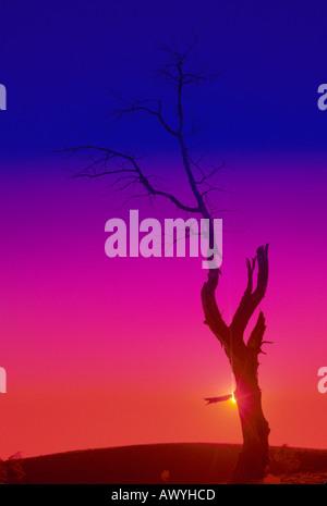 abstract special effect silhouette aspen snag sunburst split filter blue magenta red background - Stock Photo