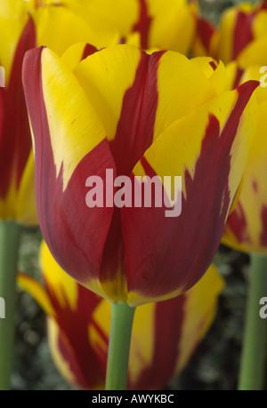 Tulipa 'Helmar'. Division 3 three Triumph Group Tulip. - Stock Photo