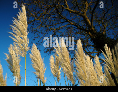 Pampas grass blwing in the breeze, Devizes, Wiltshire - Stock Photo