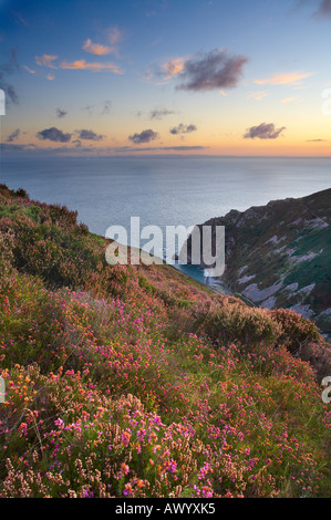 Coastal heath Common heather Bell heather and Western gorse on the hillside above Heddons Mouth near Lynton North - Stock Photo