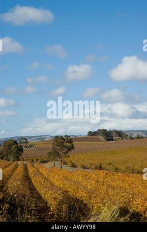 Autumnal orange grape vine's dominate the landscape in McLaren Vale - Stock Photo
