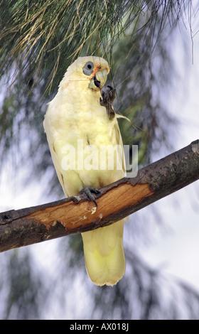 A Little Corella Cockatoo (Cacatua sanguinea) eating the leaves in a sheoak tree. Perth, Australia - Stock Photo