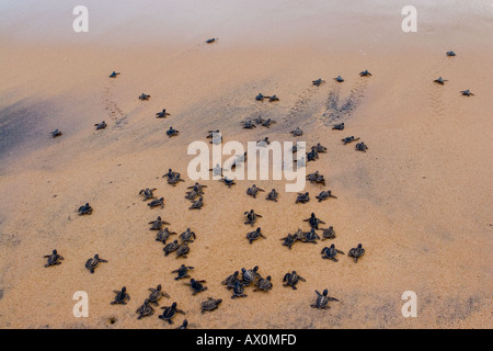 Newly hatched green sea turtles are released into the Indian Ocean at Kosgoda Beach Galle Sri Lanka - Stock Photo