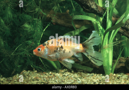 goldfish, common carp (Carassius auratus), Shubunkin breeding form - Stock Photo