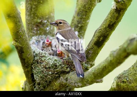 Female Chaffinch (Fringilla coelebs) feeding her young, Gillenfeld, Vulkaneifel, Germany, Europe - Stock Photo