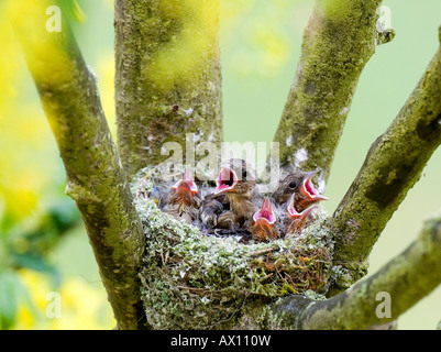 Chaffinch young (Fringilla coelebs) calling from their nest, Gillenfeld, Vulkaneifel, Germany, Europe - Stock Photo