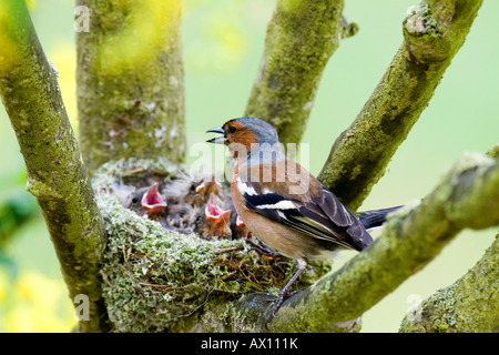 Male Chaffinch (Fringilla coelebs) at nest, Gillenfeld, Vulkaneifel, Germany, Europe - Stock Photo