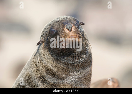 Cape Fur Seal (Arctocephalus pusillus), portrait, Cape Cross, Atlantic coast, Namibia - Stock Photo