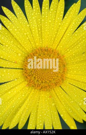 Detail shot of a garden flower, Vulkaneifel, Germany, Europe