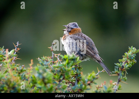Rufous-collared Sparrow (Zonotrichia capensis) calling in Torres del Paine National Park, Patagonia, Chile, South - Stock Photo
